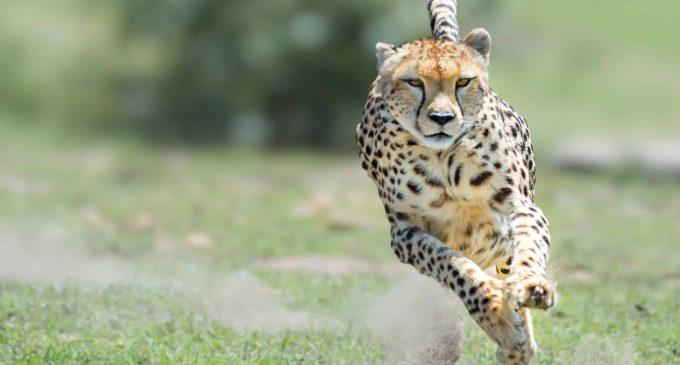 Wat als je geen cheetah bent?